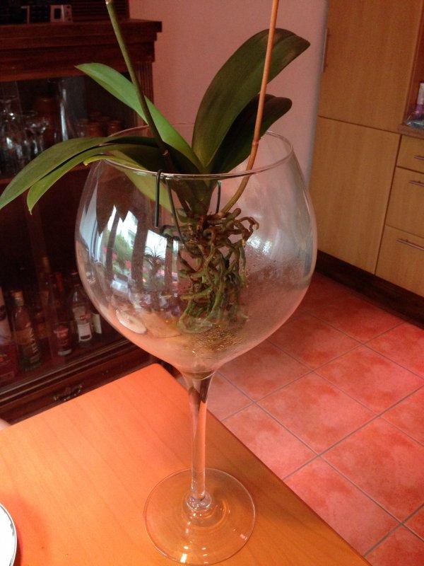 phalaenopsis im glas seite 10 orchideenforum. Black Bedroom Furniture Sets. Home Design Ideas